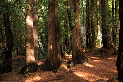 Redwoods Forest Hikes - Photo by Richard Stewart